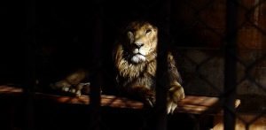 lion in a cage